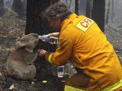 Local CFA firefighter David Tree shares his water with an injured Australian Koala at Mirboo North after wildfires swept through the region on Monday, Feb. 9, 2009. Suspicions that the worst wildfires ever to strike Australia were deliberately set led police to declare crime scenes Monday in towns incinerated by blazes, while investigators moving into the charred landscape discovered more bodies.